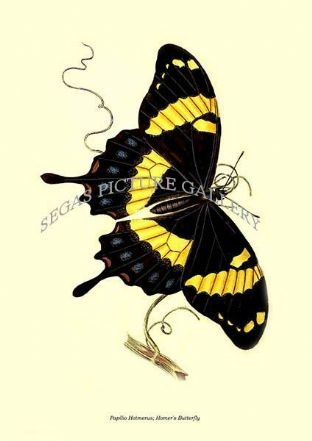 Papilio Hotmerus; Homer's Butterfly